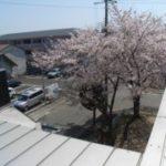 まさに!借景!桜満開
